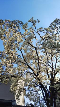 大きな白木蓮の木