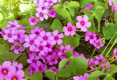 イモカタバミの花