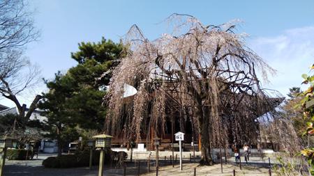 千本釈迦堂枝垂れ桜20210319