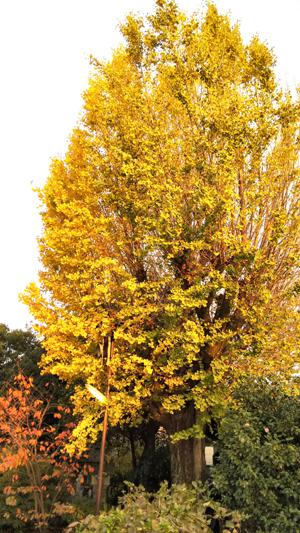 千本釈迦堂銀杏の木