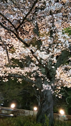 西京極桜2019春