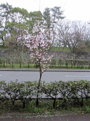 小さい桜の木