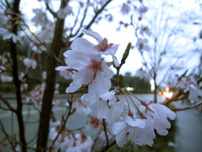 小さい桜の木の花